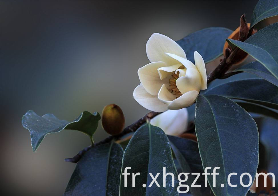 Michelia Flower Essential Oil Benefits